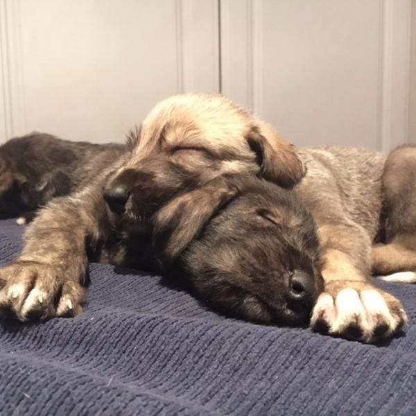 Gorgeous Irish Wolfhounds