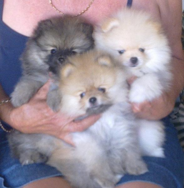 Trixies Pomeranians - Pomeranian breeder in the Western Cape