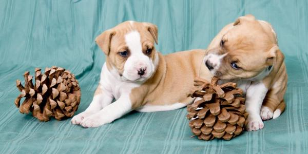 Aztrazar Kennels- KUSA Accredited Breeders of American Staffordshire Terrier