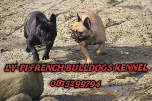Ly-Pi French Bulldogs Kennel