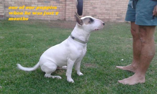 Guardian Bull Terrier