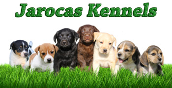 Registered breeder of Labrador and Beagle puppies in Pretoria Jarocas Kennels